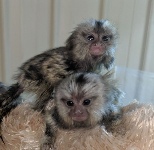 Primate Store - Monkeys for sale