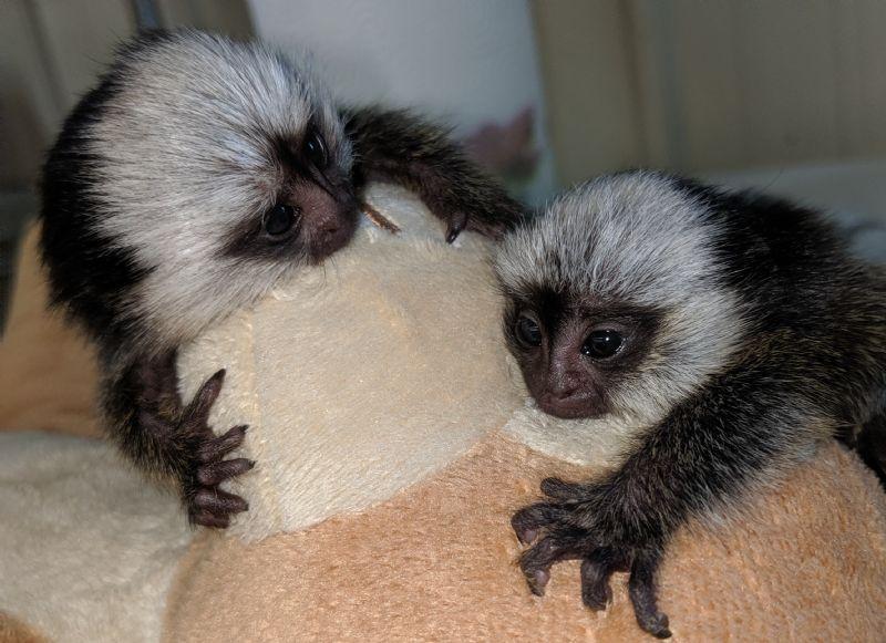 Primate Store - Monkeys for sale