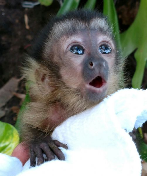 The gallery for --> Baby Capuchin - 40.7KB