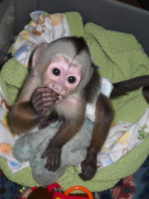 Cheap Monkeys For Sale